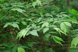 クロモジの木